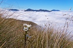 White gentian flower in tussock