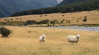 Sheep grazing in Matukituki Valley