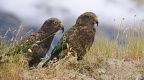 Couple of mountain parrots Kea