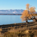 Old willow trees by Lake Ohau