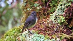 South Island Robin in forest