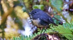 South Island Robin by ferns