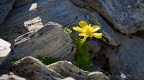 Yellow buttercup among rocks