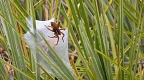 Nursery web spider with a protective tent for her brood