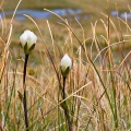White gentian flowers with closed petals hiding in the tussock