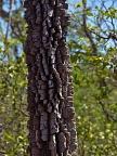 Tree of Cerrado