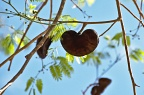 Heart shaped tree fruit