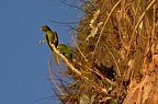 Maritaca birds (Scaly-headed Parrots)