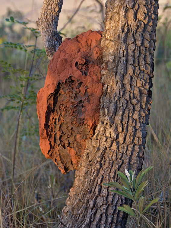 Termite mound on the tree
