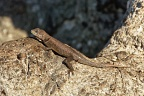 Small lizard (Lagartixa)