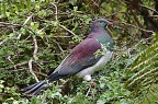 Kererū, New Zealand wood pigeon