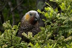 Kākā, New Zealand endemic forest parrot