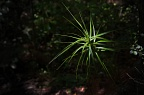 Spiky green plant in dark forest