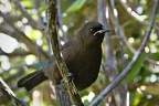 Juvenile South Island Saddleback (Tieke)