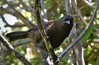 Juvenile South Island Saddleback (Tieke) being curious
