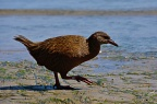 Stewart Island Weka on the beach