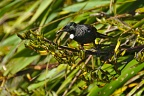 Tūī on flax bush looking
