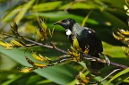 Tūī on flax branch looking