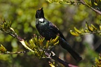 Tūī posing on flax bush