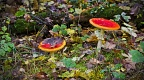 Toadstools in Hanmer Heritage Forest