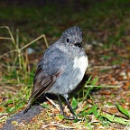 South Island Robin posing