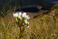 White gentian and tussock