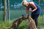 Feeding wallabies