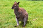 Wallaby looking