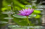 Purple water lily and green reflections