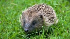 Young spiky hedgehog