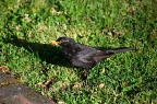 Adult blackbird