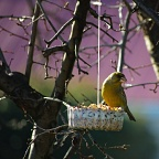 Greenfinch on hanging birdfeeder