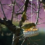 Greenfinch bird on hanging birdfeeder