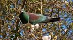 Wood Pigeon eating magnolia flowers