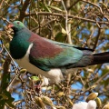Wood Pigeon on magnolia tree