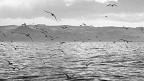 Flock of terns flying above ocean