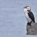 Shag sitting on weathered piece of wood