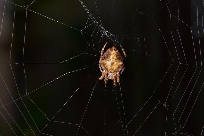 Garden Orbweb Spider Tomas Sobek Photography