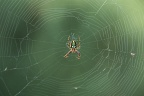 Brown and green orbweb spider