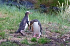 Two Yellow-eyed Penguins