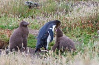 Yellow-eyed Penguin feeding two chicks