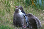 Yellow-eyed Penguin and two chicks