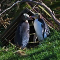 Two yellow-eyed penguins at home