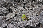 Green plant and black lava