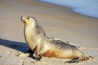 Young sea-lion