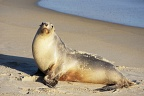 Young sea-lion posing
