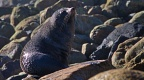 Young New Zealand Fur Seal on the boulders