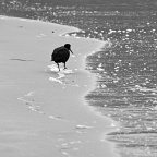 Black oystercatcher on the beach