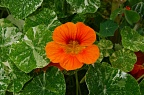 Dark orange nasturtium