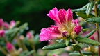 Hot pink rhododendron blossoms with raindrops